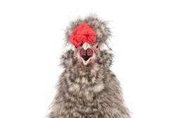 portrait singing Chinese cockerel isolated on a white background.