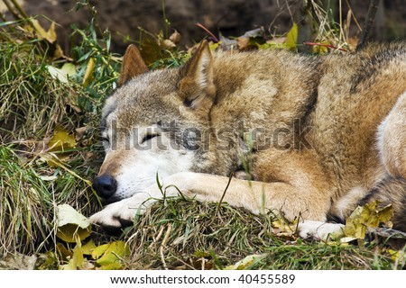 portrait sleeping on the grass, the gray wolf