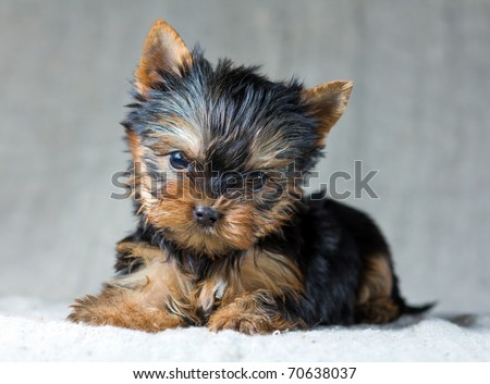 Portrait Small Yorkshire Terrier Puppy