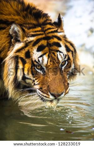 Portrait Tigers