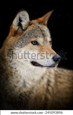 Portrait wild wolf on dark background
