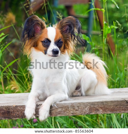 Portrait young dog breed Papillon