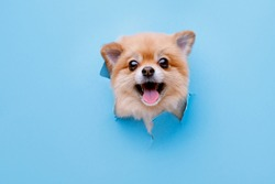 Portraite of cute fluffy puppy of pomeranian spitz climbs out of hole in colored background. Little smiling dog on bright trendy blue background. Free space for text.