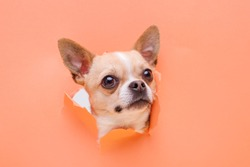 Portraite of cute puppy chihuahua climbs out of hole in colored background. Little smiling dog on bright trendy orange background. Free space for text.