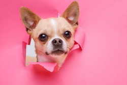 Portraite of cute puppy chihuahua climbs out of hole in colored background. Little smiling dog on bright trendy pink background. Free space for text.