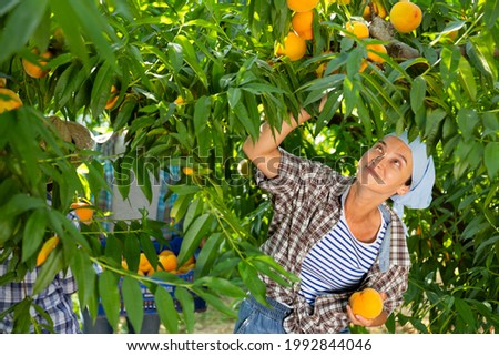 Portraite of positive woman harvests ripe peaches in his orchard