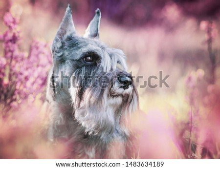 Portraits of the Miniature Schnauzer dog in pink flowers #1483634189