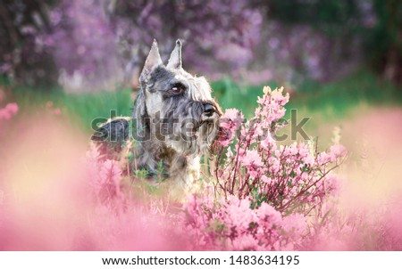 Portraits of the Miniature Schnauzer dog in pink flowers #1483634195