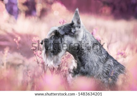 Portraits of the Miniature Schnauzer dog in pink flowers #1483634201