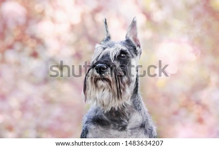 Portraits of the Miniature Schnauzer dog in pink flowers #1483634207