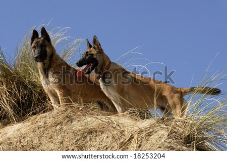 portraits of two young purebred belgian shepherds malinois on the