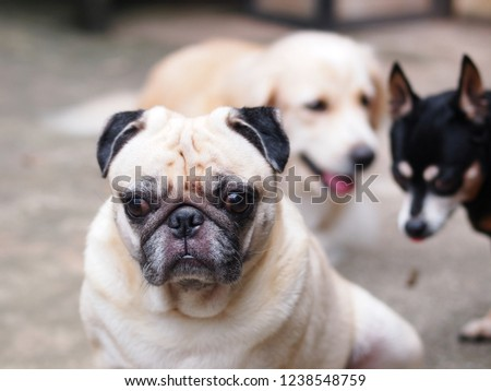 portraits photo of a lovely white fat cute pug dog playing on home garage floor making fun and happy face under warm natural sunlight blur dog friends in picture background