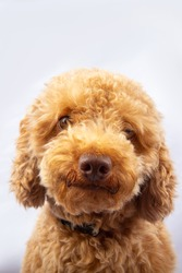 Portraiture Joyful puppy purebred toy poodle puppy on white background.