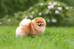 Portreit of cute small orange pomeranian spitz dog walking on green grass at nature.