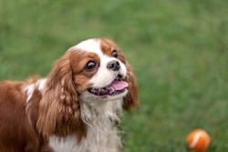 Portreit of young cavalier king charles spaniel with ball at nature