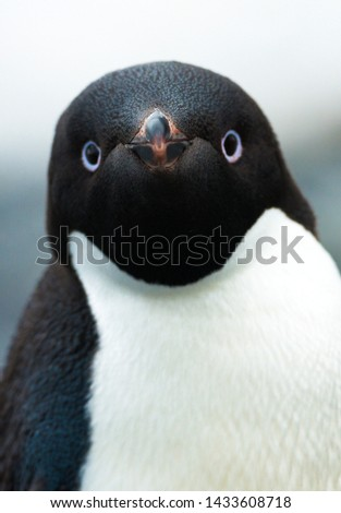 Portreits of Adeli pinguin in Antarctica Stockfoto ©