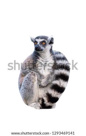 Portret of ring-tailed lemur on white background, front view