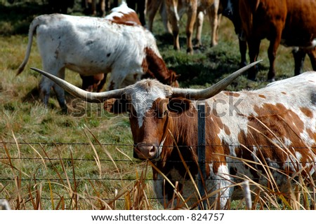 portriat of longhorn cow