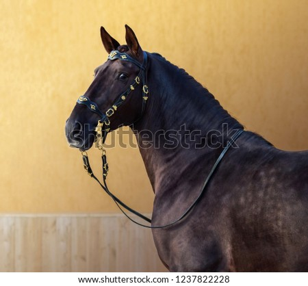 Portuguese horse in portuguese baroque bridle on gold background. #1237822228