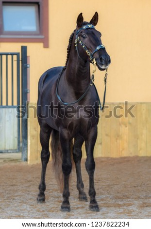 Portuguese horse in portuguese baroque bridle stand in paddock. #1237822234