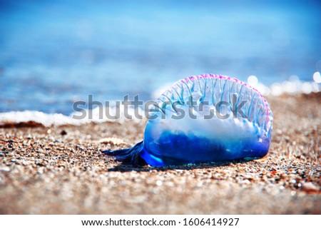Portuguese man o' war - dangerous marine life on Florida coast Foto stock ©