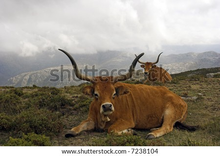 Portuguese mountain semi-wild cattle in a high mountain (Peneda - Geres, north of Portugal)