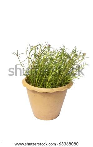 Portulaca grandiflora as white isolate background