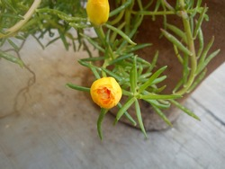 Portulaca grandiflora is a succulent flowering plant in the family Portulacaceae.  It has many common names, including rose moss