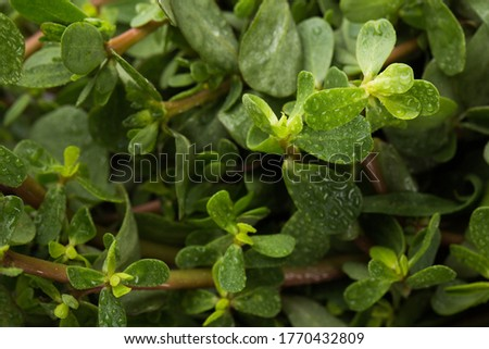 Portulaca greens close up in studio
