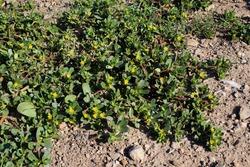 Portulaca oleracea, Common Purslane. Wild plant shot in summer.