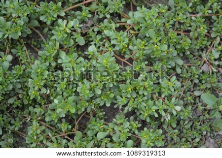 Portulaca oleracea. Purslane. Field. Growing. Agriculture. Weeds. Useful plant. Medicinal plant. Thick green leaves. Summer. Horizontal photo
