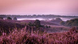 Posbank Netherlands, Sunny foggy Sunrise over the pink purple hills at Veluwezoom national park Netherlands, blooming Heather fields in the Netherlands during Sunrise