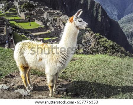 Posed Llama Standing In Front of Ruins of Machu Picchu in Peru