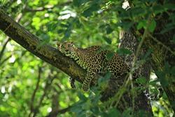 Poses of the leopard resting on a tree in Huai Kha Khaeng Wildlife Sanctuary, Uthai Thani Province, Thailand