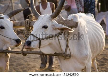 Poshina bulls in harness India