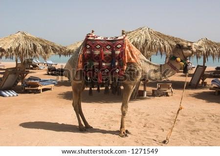 posing camel - stock photo