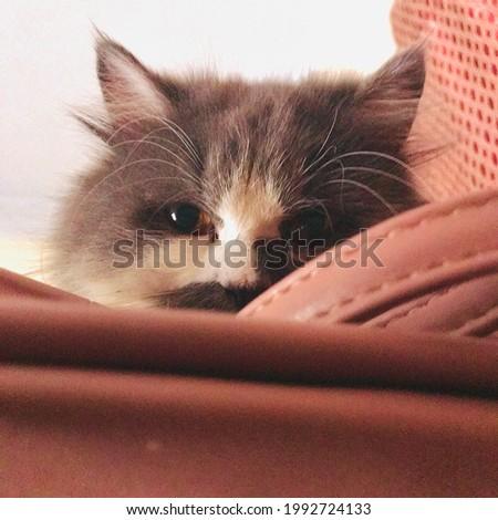 Posing cat, staring at the camera