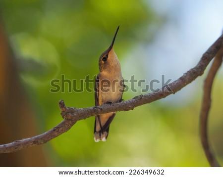 Posing Hummingbird