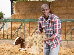 Positive african american man farmer feeds cows with hay at farm outdoor