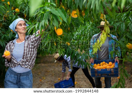 Positive woman harvesting ripe peaches in his orchard on sunny day