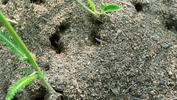 Possible Pavement ant or Formica pressilabris built bulk anthill in the middle of a meadow of soil and pieces of plants. Estonian