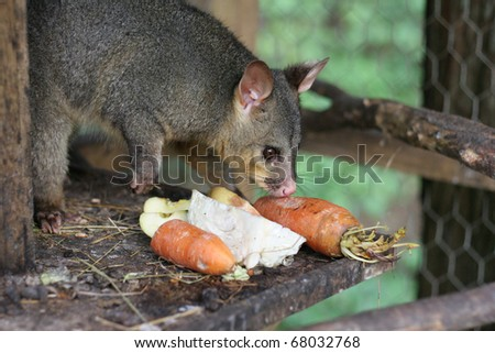 Possum in a cage eating fresh vegetables.