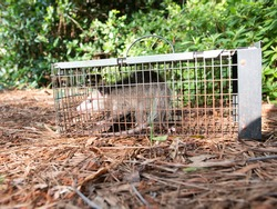 Possum in live humane trap. Trapped opossum marsupial. Pest and rodent removal cage. Catch and release wildlife animal control service.