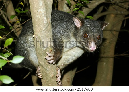 Possum up a tree