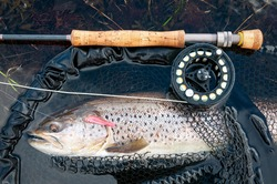 Post spawn sea trout on the fly rod