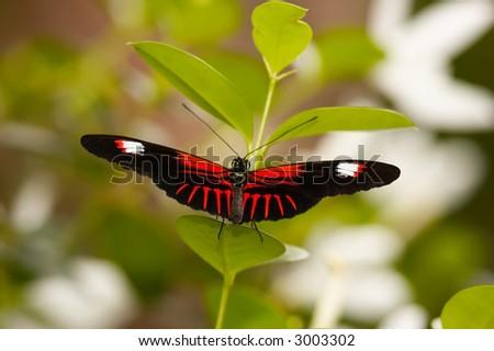 Postamn Butterfly on plant