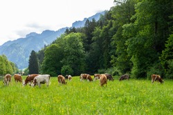 Postcard view. Cows on a green field,grazing on the green grass of a cows farmer, a beautiful cow landscape in the field in the summer over Alps mountains. Free space.