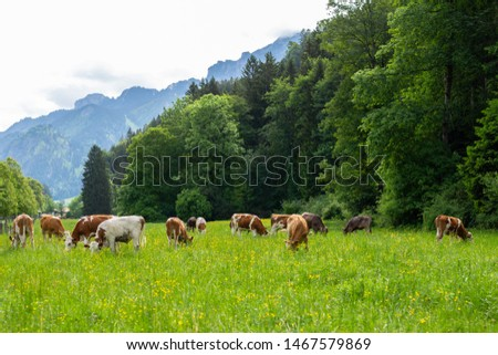 Postcard view. Cows on a green field,grazing on the green grass of a cows farmer, a beautiful cow landscape in the field in the summer over Alps mountains. Free space. Foto d'archivio ©