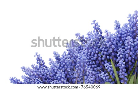 "Postcard with  first blue  springs flowers "" Muscari"" isolated on white"