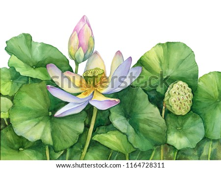 Poster of Indian sacred lotus flower with leaves, seed head, bud (also known as Egyptian bean, Nelumbo nucifera). Watercolor hand drawn painting illustration isolated on a white background.